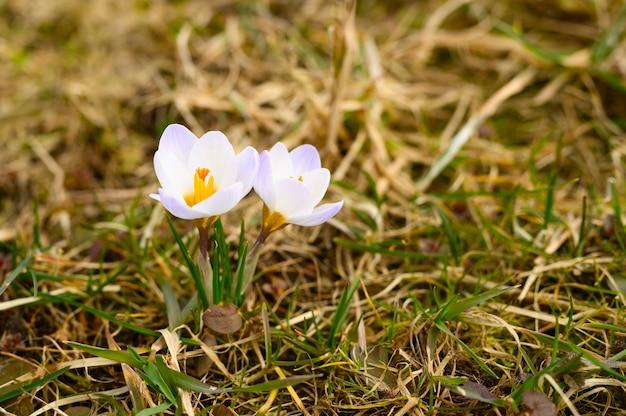 Fleurs de crocus en pleine floraison, couleur lilas blanc, poussent sur l'herbe flétrie. les premières fleurs printanières dans la nature en plein air