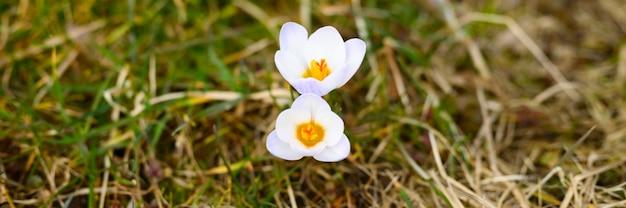Fleurs de crocus en pleine floraison, couleur lilas blanc, poussent sur l'herbe flétrie.