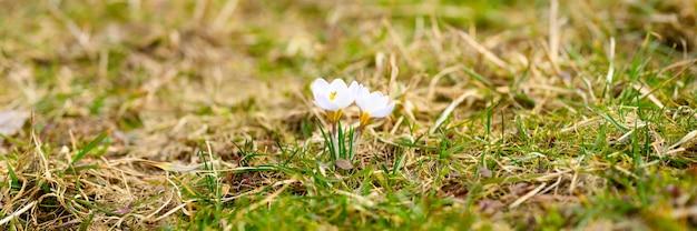 Fleurs crocus en pleine floraison, couleur lilas blanc, poussent sur l'herbe flétrie
