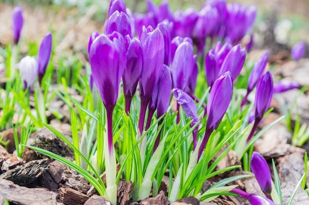 Fleurs de crocus pourpres colorées en fleurs sur une journée ensoleillée de printemps