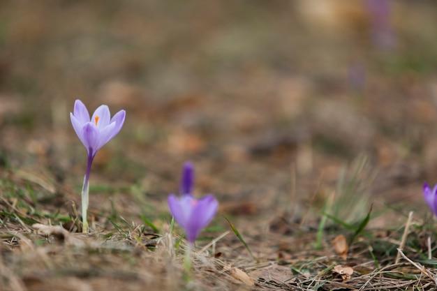 Fleurs de crocus pourpres dans la forêt