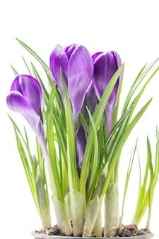 Fleurs de crocus de printemps bleu sur fond blanc en studio