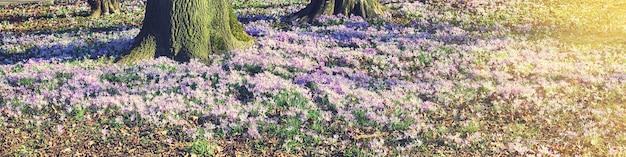 Fleurs de crocus violet en fleurs dans un flou artistique sur le sol autour d'un arbre