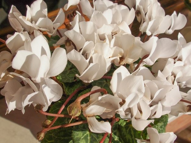 Fleurs de cyclamen blanc