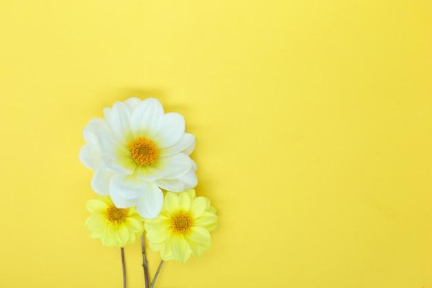 Fleurs de dahlia blanches et jaunes sur fond jaune