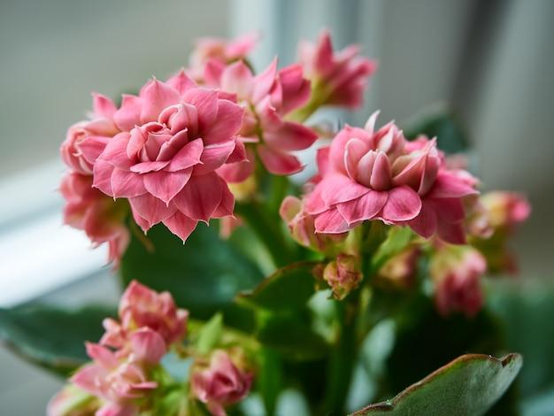Fleurs décoratives kalanchoe