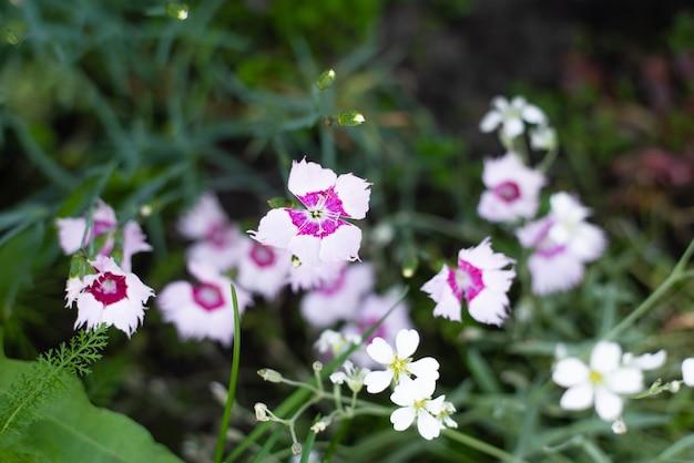 Fleurs de dianthus, fleurs de marguerite dans le jardin