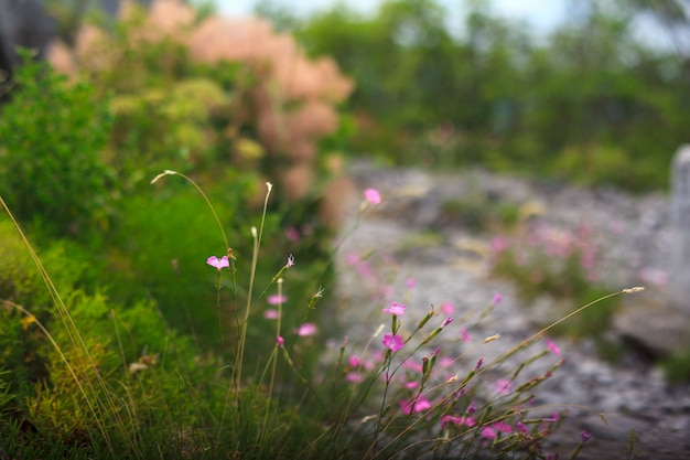 Fleurs de dianthus