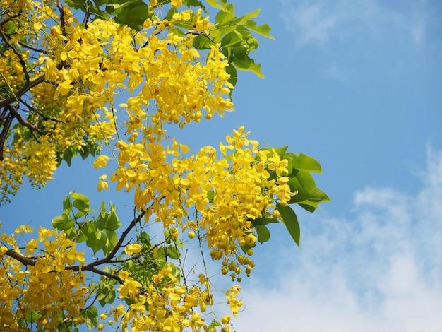 Fleurs de douche dorées (fistule de cassia)
