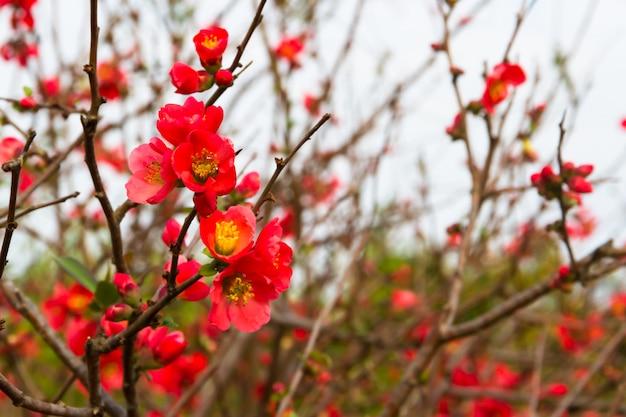 Fleurs du cognassier fleuries au printemps
