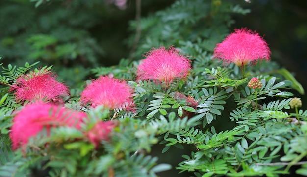 Les fleurs du gland rose (albizia julibrissin).