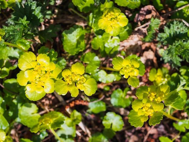 Fleurs d'eau jaune dans la forêt de printemps