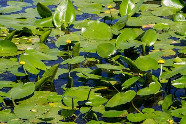 Fleurs d'eau jaune (nuphar lutea) dans le lac