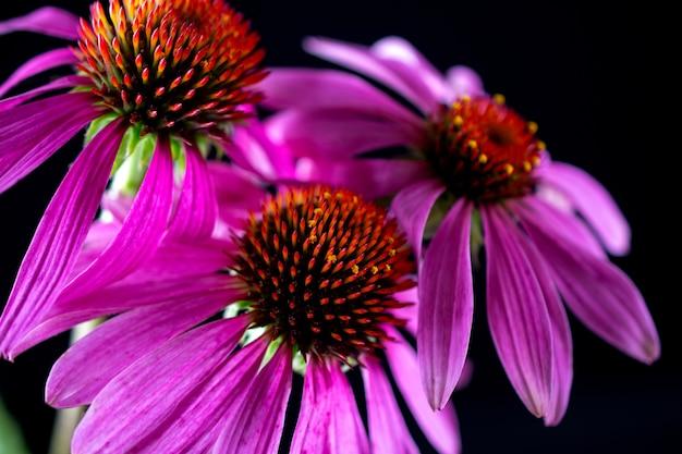 Fleurs d'échinacée echinacea purpurea isolés