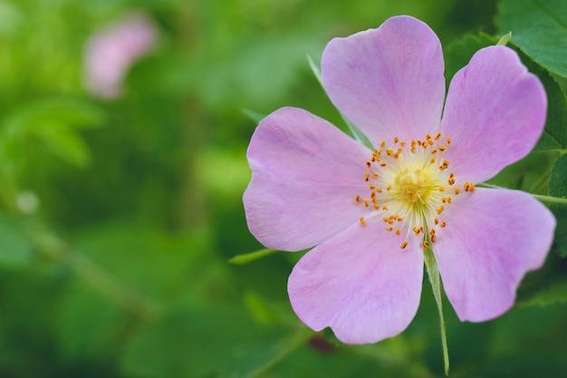 Fleurs d'églantier rose-rose croissant dans le fond de nature vert