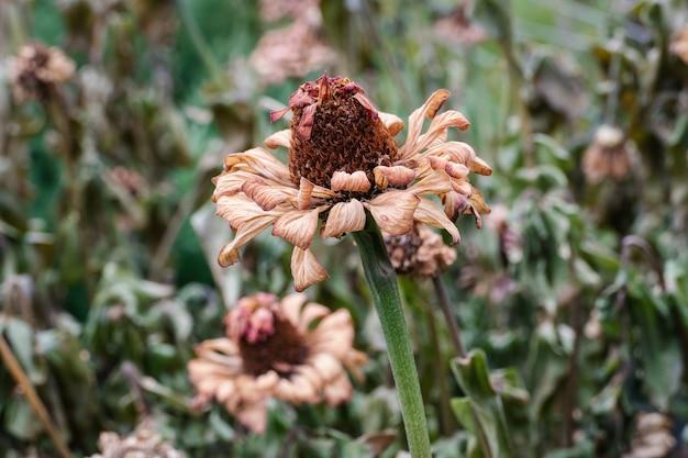 Fleurs endommagées par le gel dans le jardin d'automne