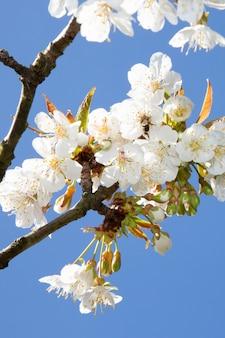 Fleurs épanouies blanches sur l'arbre