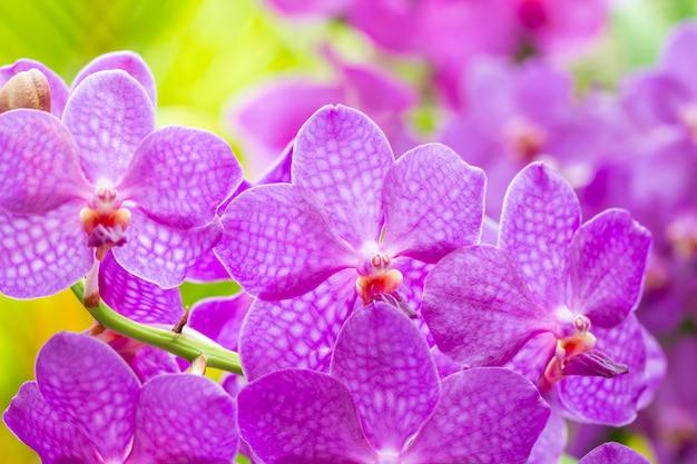 Fleurs épanouies, orchidée violette, vanda, de couleur douce et de style flou.