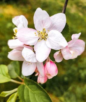 Fleurs épanouies de pommier, fleur de printemps, pétales blancs et roses.