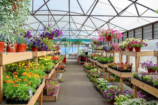Fleurs épanouies en pots et sur les étagères de la jardinerie.
