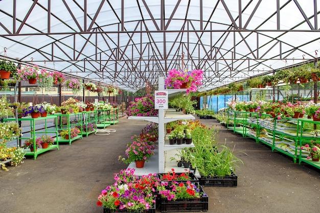 Fleurs épanouies en pots et sur étagères en jardinerie