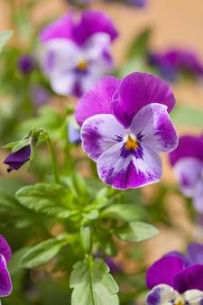 Fleurs d'été belle pensée dans le jardin