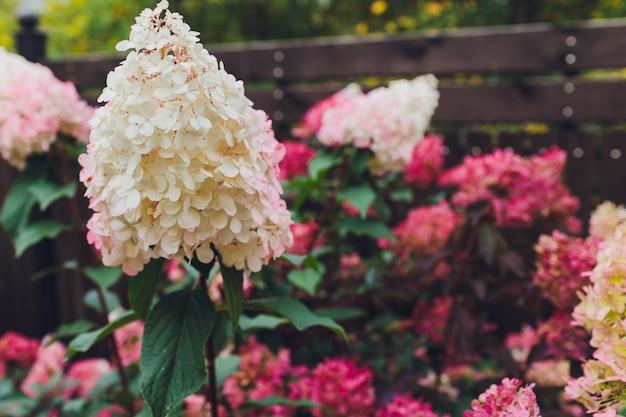 Fleurs, feuilles et soleil. hortensias roses et violets. respirez l'arôme du printemps.