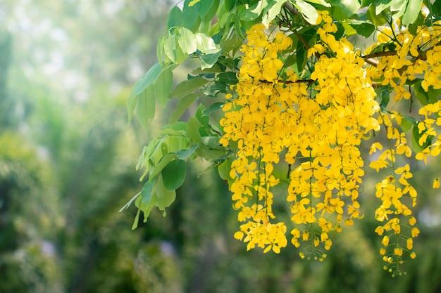 Fleurs de fistule de cassia ou fleur de douche dorée avec espace de copie pour le fond de la nature