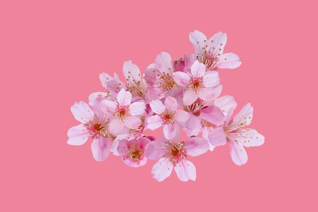 Fleurs de fleurs de cerisier, fleurs de sakura isolés sur fond rose - chemins de détourage.