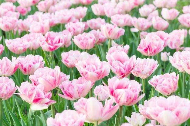 Fleurs fraîches de tulipe rose bouchent