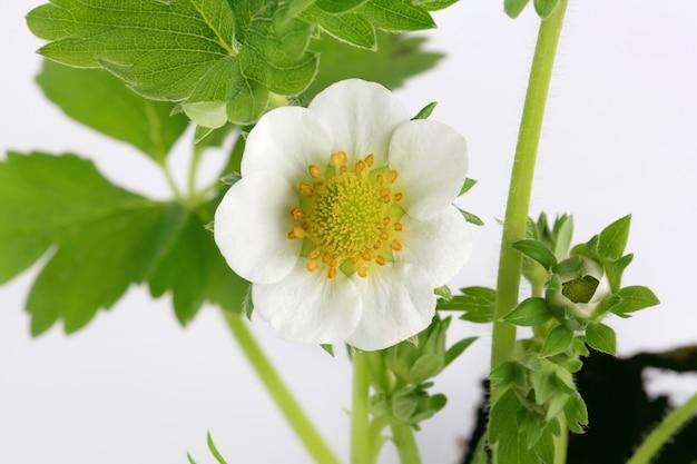 Fleurs de fraise fraise des bois isolé sur fond blanc