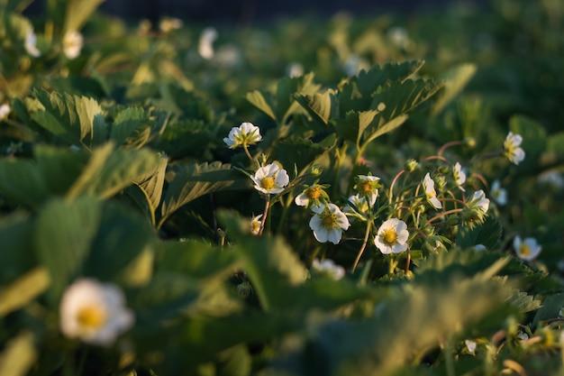 Fleurs fraises sur fond de feuillage vert