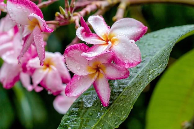 Fleurs de frangipanier après la pluie