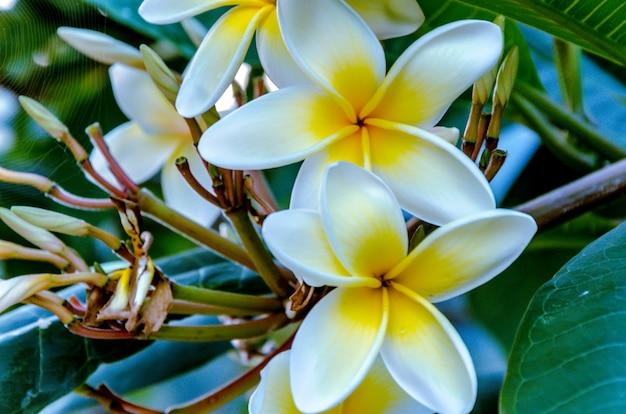 Fleurs de frangipanier fraîches dans le jardin