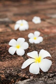 Fleurs de frangipanier (plumeria) sur pierres