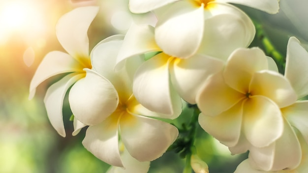 Fleurs de frangipanier plumeria
