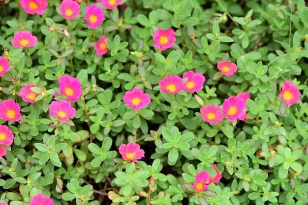 Fleurs de frangipanier rose, blanc et jaune avec des feuilles en arrière-plan.