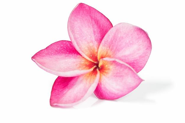 Fleurs de frangipanier rose unique ou plumeria sur fond blanc, isolé