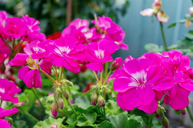 Les fleurs de géranium rose poussent à l'extérieur, en gros plan. mise au point sélective.