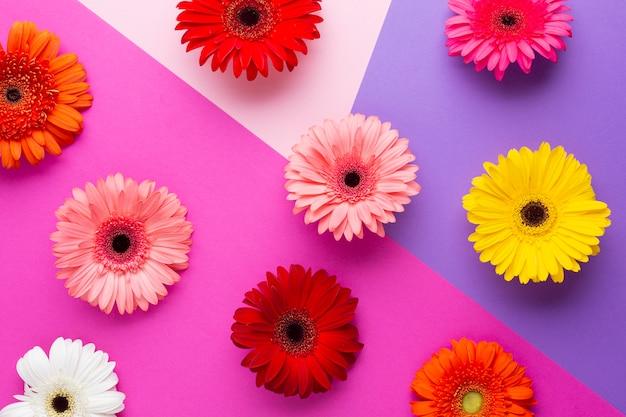 Fleurs de gerbera colorées vue de dessus
