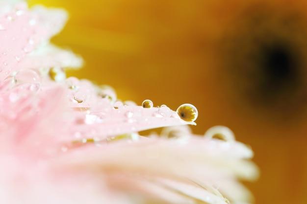 Fleurs de gerbera avec goutte de pluie