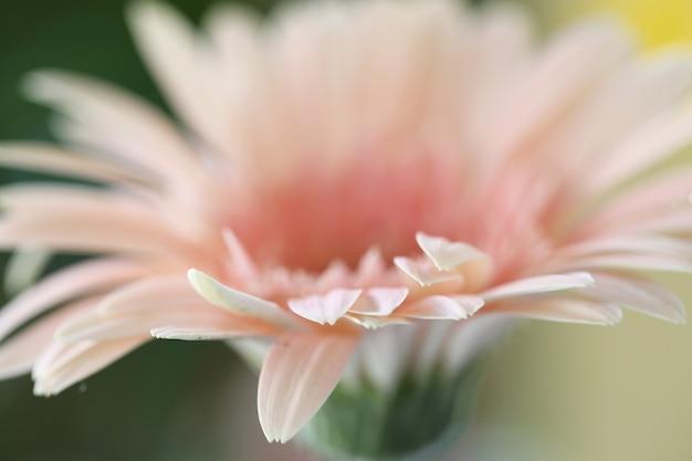 Fleurs de gerbera rose en gros plan