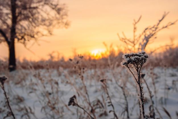Fleurs givrées dans la lumière du coucher du soleil
