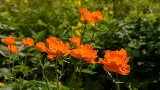 Fleurs globe orange sur fond flou trollius