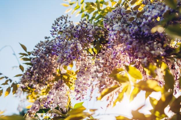 Fleurs de glycine qui fleurissent dans le jardin de printemps. vignes de brousse de glycine accrochée à une clôture. fleur de coucher de soleil violet