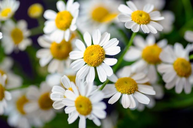 Fleurs à hamomile