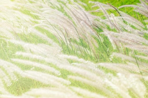 Fleurs d'herbe avec lumière du matin
