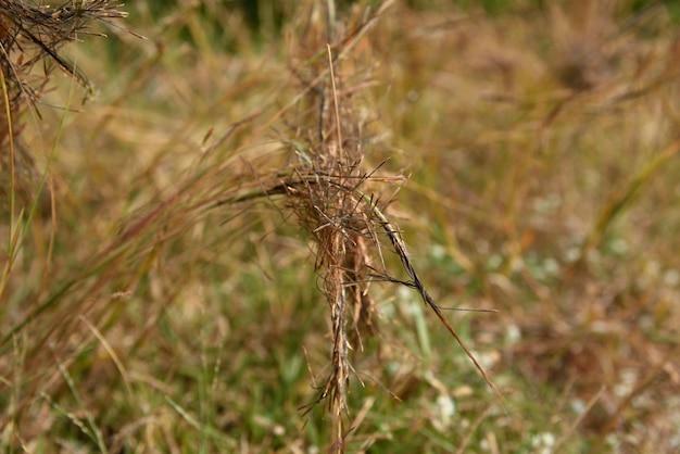 Fleurs d'herbe pointues dans la nature