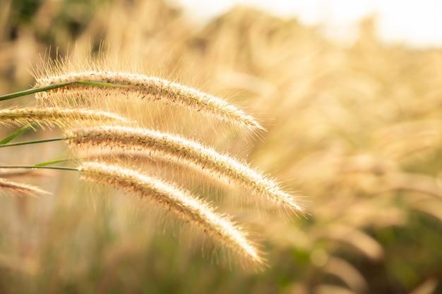 Fleurs d'herbe avec le soleil pour le fond