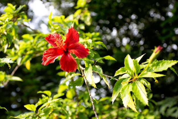 Fleurs d'hibiscus rouges dans le jardin